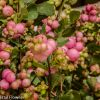 Green & Pink Snowberries, Farm Fresh 10.11.17