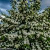 Popcorn Viburnum & other Specialty Viburnum Flower Wholesale 4.23.18