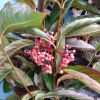 10.03.19 Viburnum Berries Fall Foliage with Orange leaves and blue & pink berries.