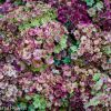 Antique Double Flowering Hydrangea