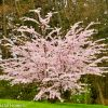 Pink Cherry Branches Blooming for Easter